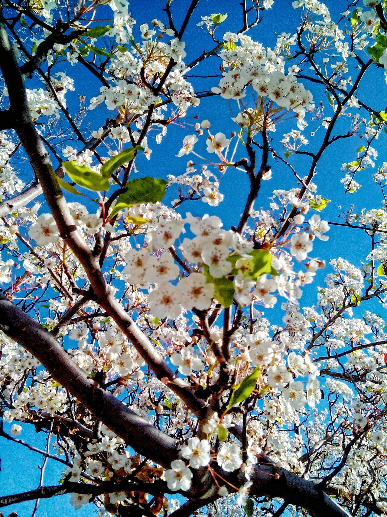 Beauty In Nature Blossom Branch Clear Sky Close-up Day Flower Fragility Freshness Growth Low Angle View Nature No People Outdoors Sky Springtime Sunlight Tree Twig Fresh On Eyeem