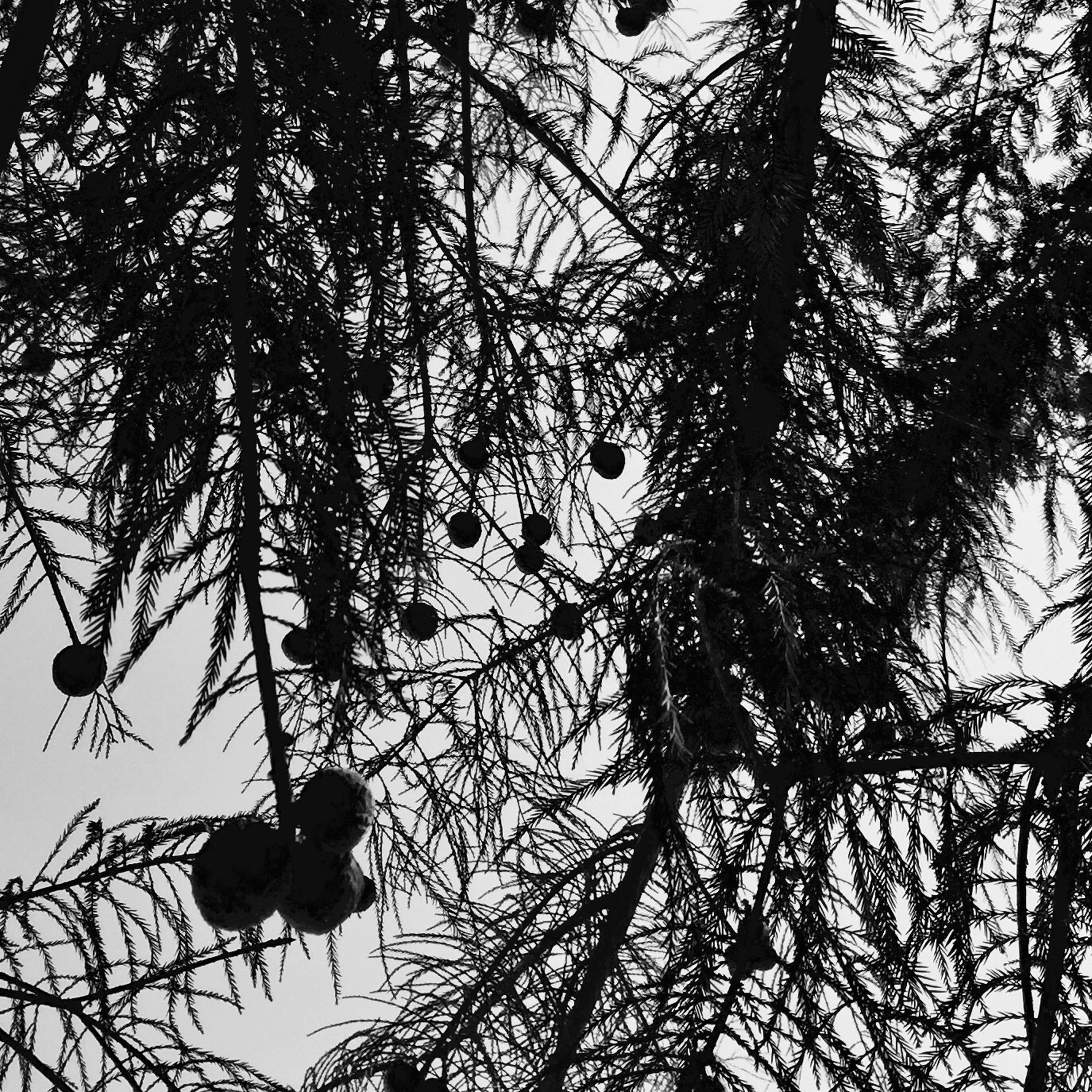 Some sort of evergreen tree at medical mall. Got a shot of it and all those balls you see are this trees pine cones , so to speak.!these 'pine cones are round and as big as ping pong ball...oh and they are rock hard. Being Cultured