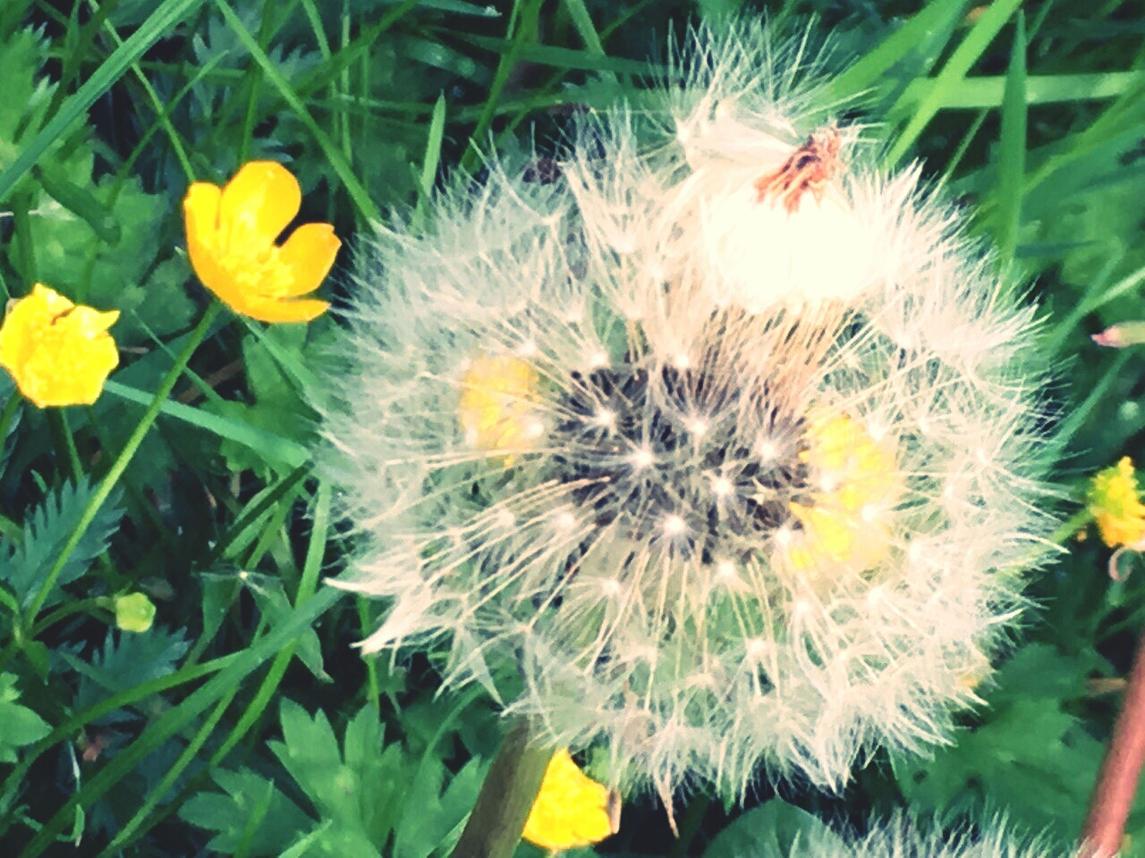 flower, fragility, freshness, flower head, growth, yellow, petal, plant, beauty in nature, blooming, dandelion, nature, close-up, field, in bloom, single flower, focus on foreground, high angle view, day, stem
