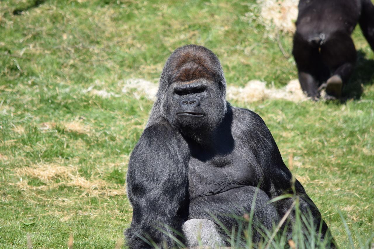 gorilla Animal Themes Animal Wildlife Animals In The Wild Ape Beauval Chimpanzee Day Female Gorilla Gorille Grass Green Male Mammal Monkey Nature No People One Animal Outdoors Portrait Power Primate Sitting Strong Zoo