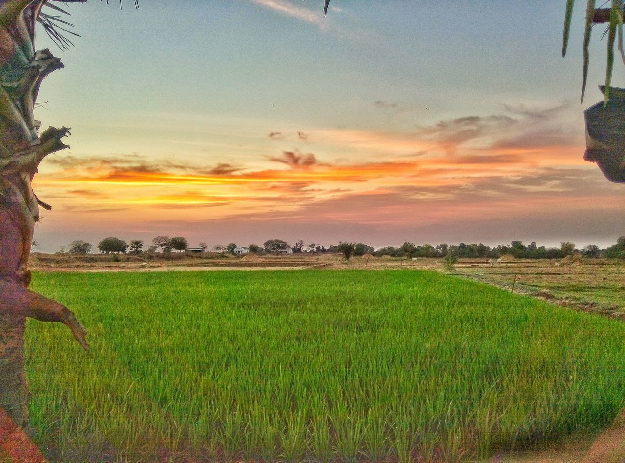 field, agriculture, landscape, growth, nature, farm, grass, crop, sunset, tranquil scene, sky, beauty in nature, rural scene, scenics, tranquility, green color, plant, rice paddy, outdoors, no people, cereal plant, tree, day
