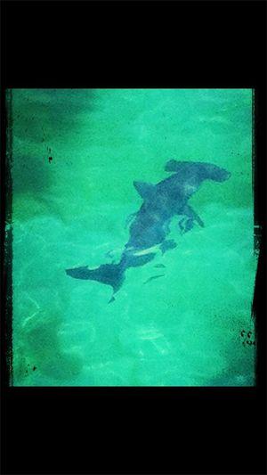 Shark week- Hammerhead