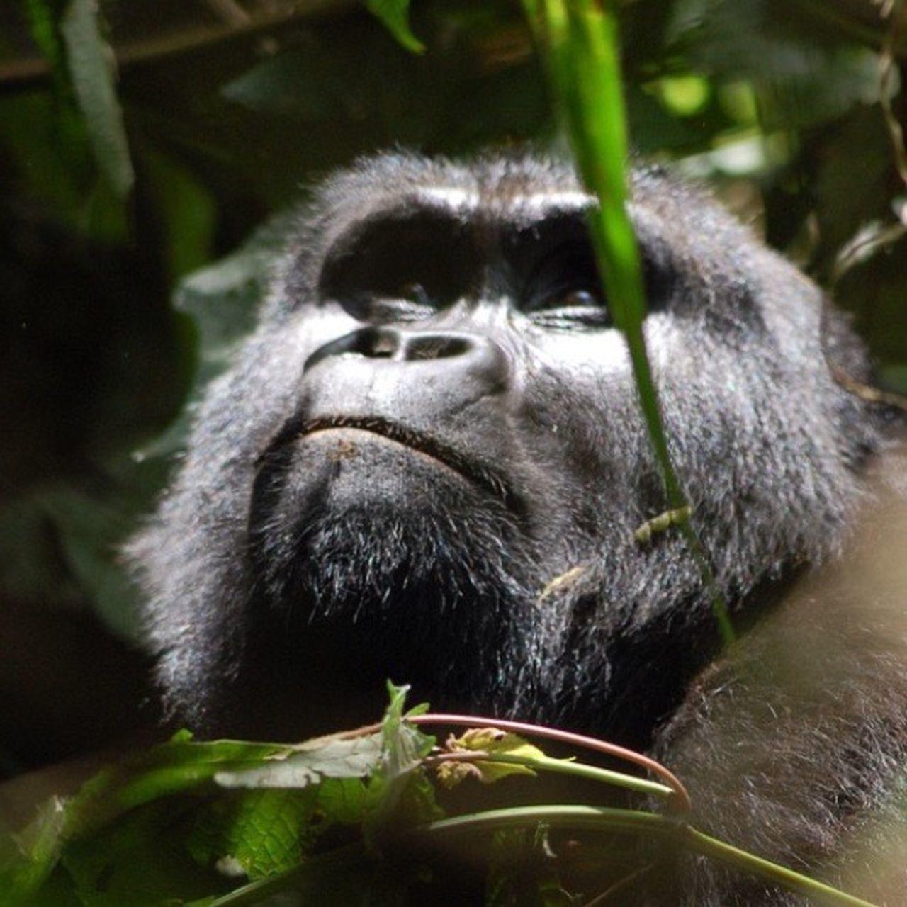 Hello World Travel Wildlife Photography Taking Photos Gorilla Africa Rwanda Rwanda Wildlife & Nature Wildlife Love