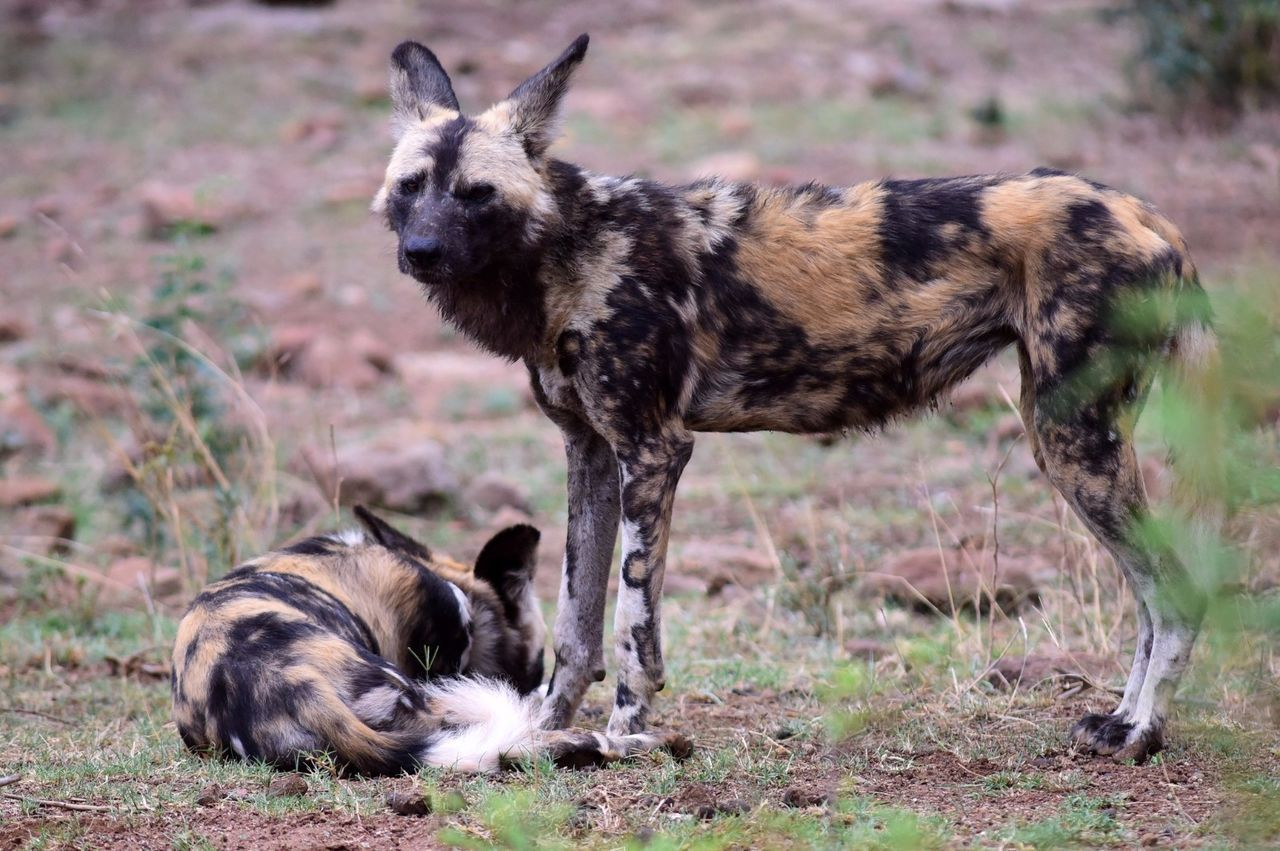 Animal Themes Animals In The Wild Mammal No People Animal Wildlife One Animal Nature Field Outdoors Day Wilddog Wilddogs South Africa Southafricadiaries South Africa Is Amazing The Way Forward Southafrica Nature Animal Head  Animals In The Wild Animal Head  Animal Behavior