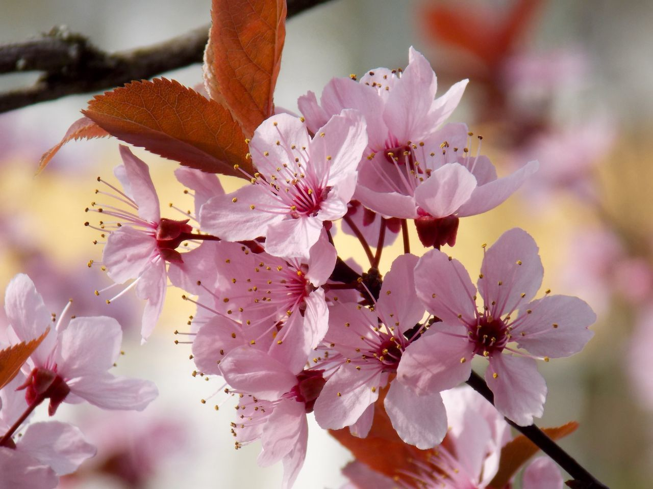 Pink Blossoms Springtime Naturelovers. Flowers, Nature And Beauty Macro Photography