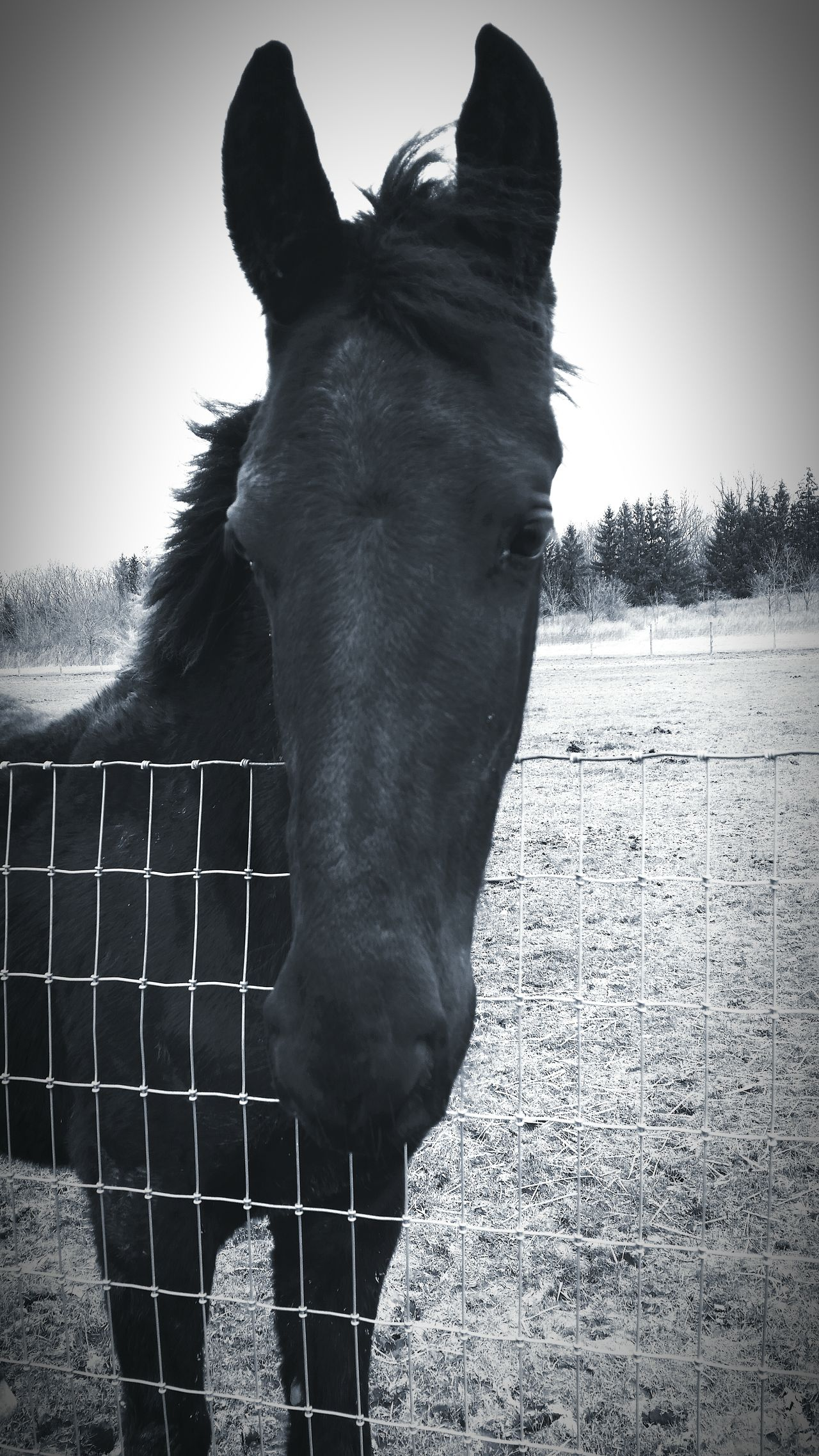 Goddess Friesian Horse Life Horseriding Beautifuleyes Horses Bighorse Photography Black And White Yearling Country Living Horsepassion Horselove Horse Filly Animals Horse Photography  Beautifulhorse