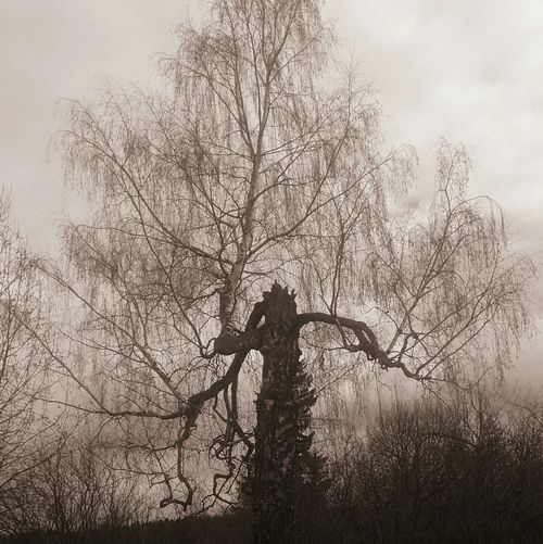 Покореженная береза. Природа деревья пейзаж Nature Trees Landscape Outdoors Silhouette Beauty In Nature