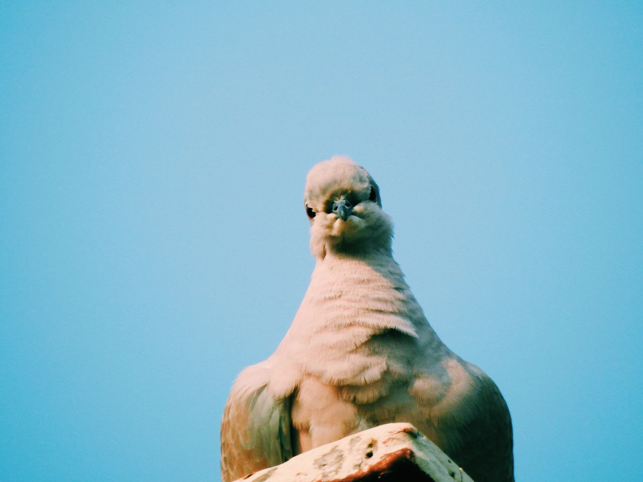 Low Angle Portrait Of Pigeon Perching On Roof Against Clear Blue Sky