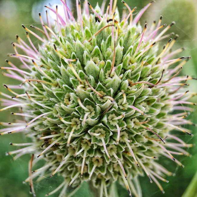 Growth Plant Close-up Nature Fragility Natural Pattern Freshness Spiked Green Color Beauty In Nature Selective Focus Macro Macro Photography Flower Focus On Foreground Day Single Flower Needle - Plant Part