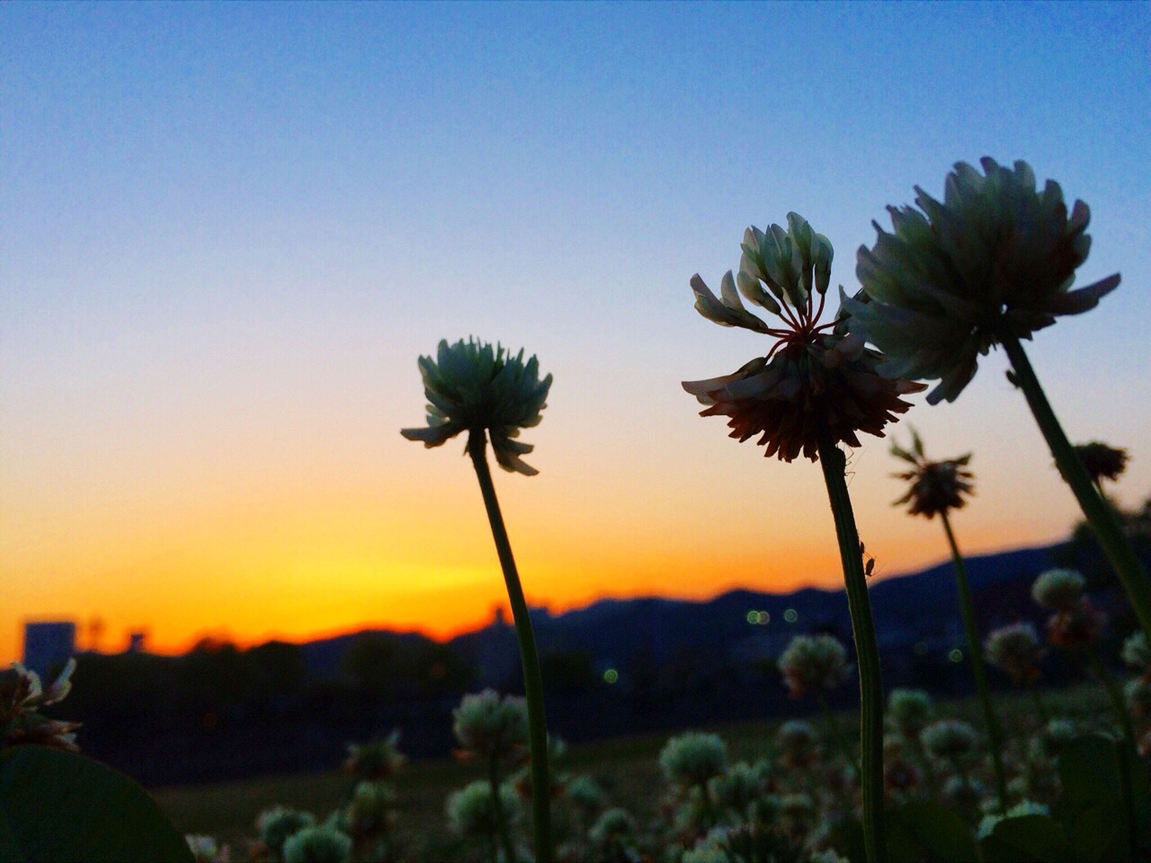 flower, growth, sunset, beauty in nature, clear sky, nature, focus on foreground, plant, stem, freshness, fragility, tranquility, sky, tranquil scene, scenics, close-up, copy space, landscape, field, flower head