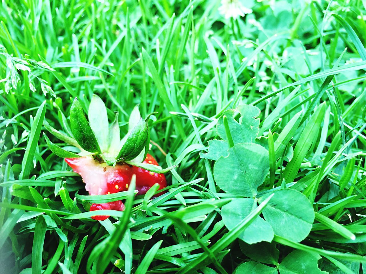 Strawberry Drop Green Park Nature Freshness Open Edit Nature On Your Doorstep Food Simple Beauty Capture The Moment Bold Neons, Bright Pastels The Essence Of Summer Walking Around IPhoneography Getting Inspired Fruit Enjoying Life Colors EyeEmFiveSenses Nature Photography Lovely EyeEm Best Shots Showcase June The Mix Up
