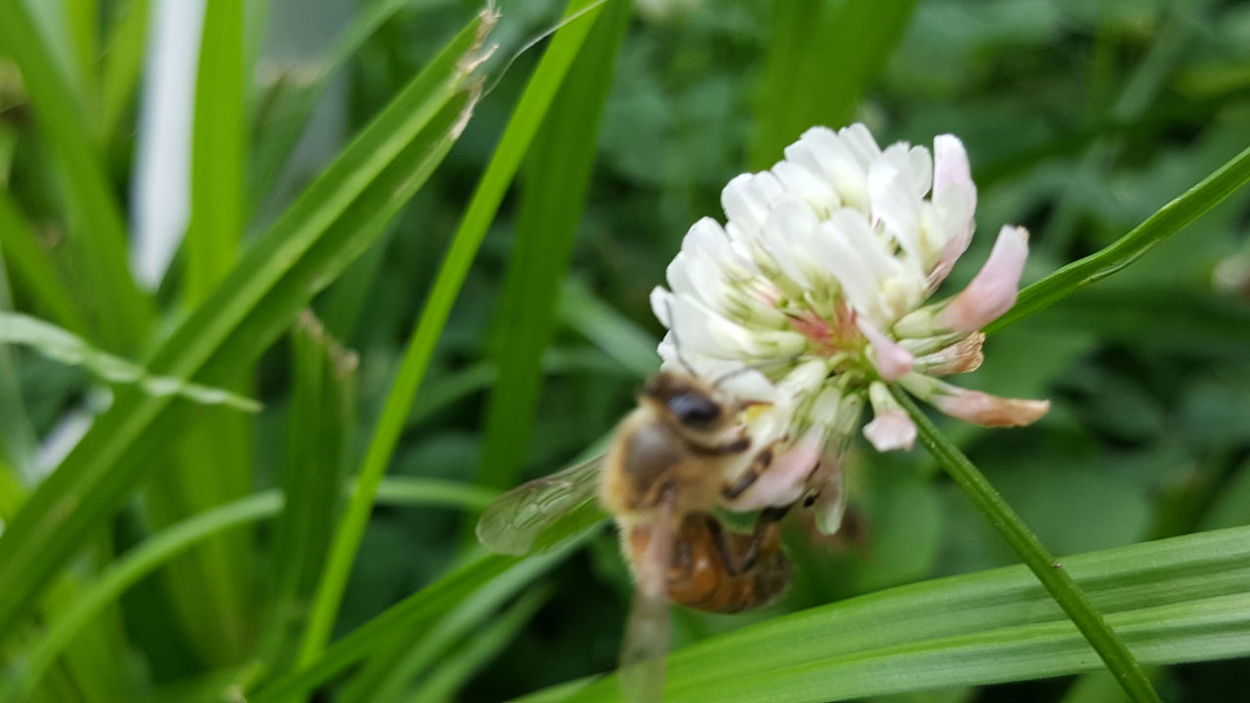 Honeybee drinking nectar off clover One Animal Animal Wildlife Nature Insect Flower Fragility Plant Outdoors Close-up Bee Freshness Flower Head Beauty In Nature Polination