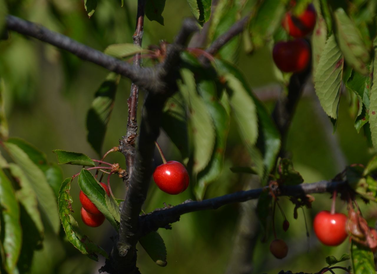 Beauty In Nature Branch Close-up Day Focus On Foreground Food Food And Drink Freshness Fruit Green Color Growing Growth Healthy Eating Leaf Nature No People Outdoors Plant Red Rose Hip Rowanberry Tree