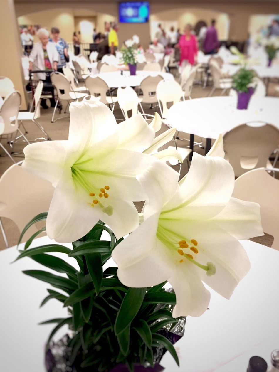 Flower Petal Freshness White Color Fragility Flower Head Beauty In Nature Close-up No People Growth Nature Day Indoors  Lilies Easter
