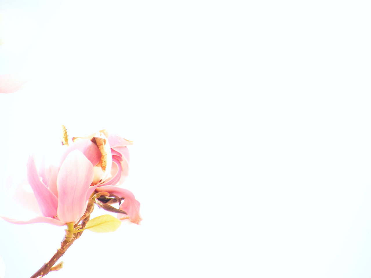 Magnolia Animal Themes Beauty In Nature Blossom Close-up Copy Space Day Flower Flower Head Fragility Freshness Growth Nature No People Outdoors Petal Pink Color Springtime Stamen Studio Shot White Background