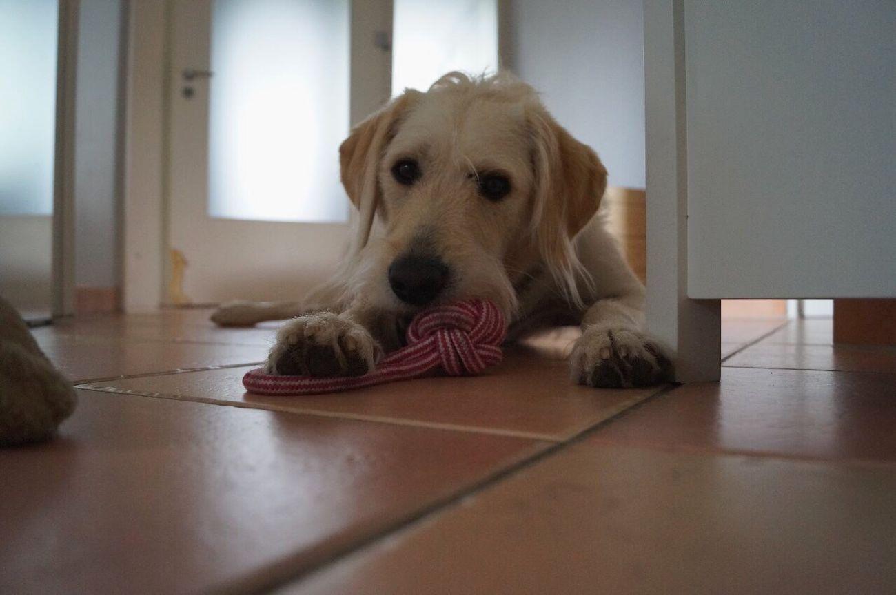 Dog Pets One Animal Indoors  Looking At Camera No People Close-up