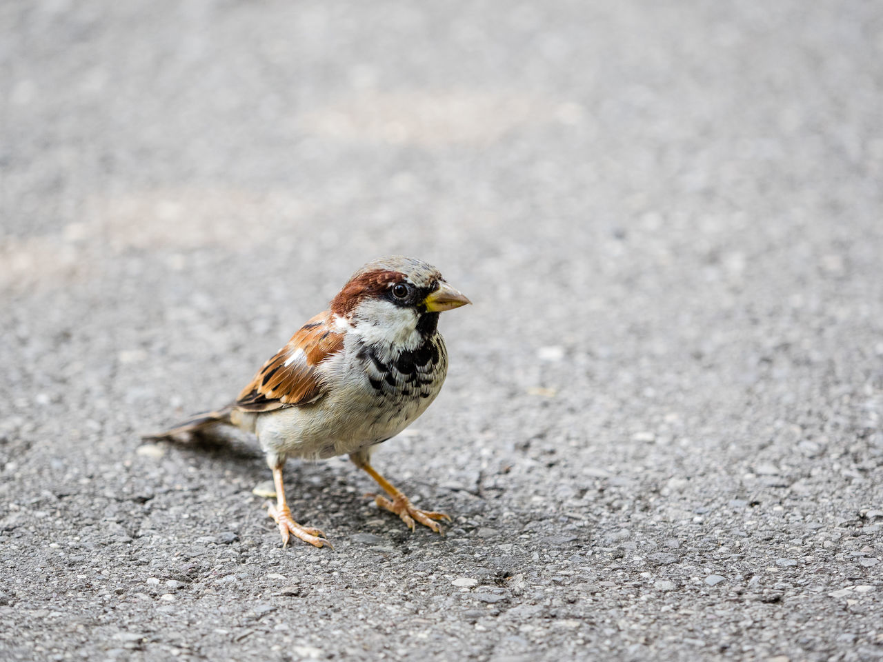 Adapted To The City Bird Close-up Day Feather  One Animal Outdoors Sparrow