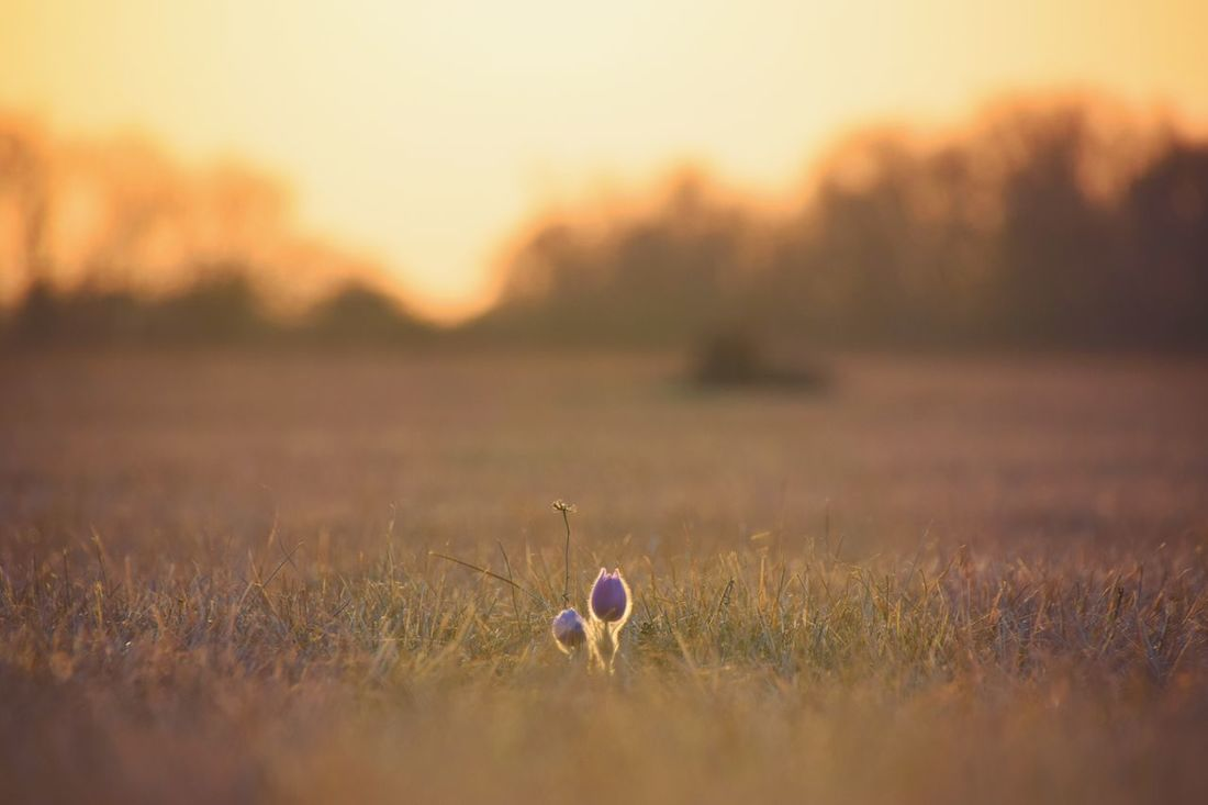 Sunset Field Growth Nature Beauty In Nature Outdoors Grass Flower Close-up No People Landscape Sky Day Pulsatilla Patens Pulsatilla Tranquil Scene Outstanding Outstanding Beauty
