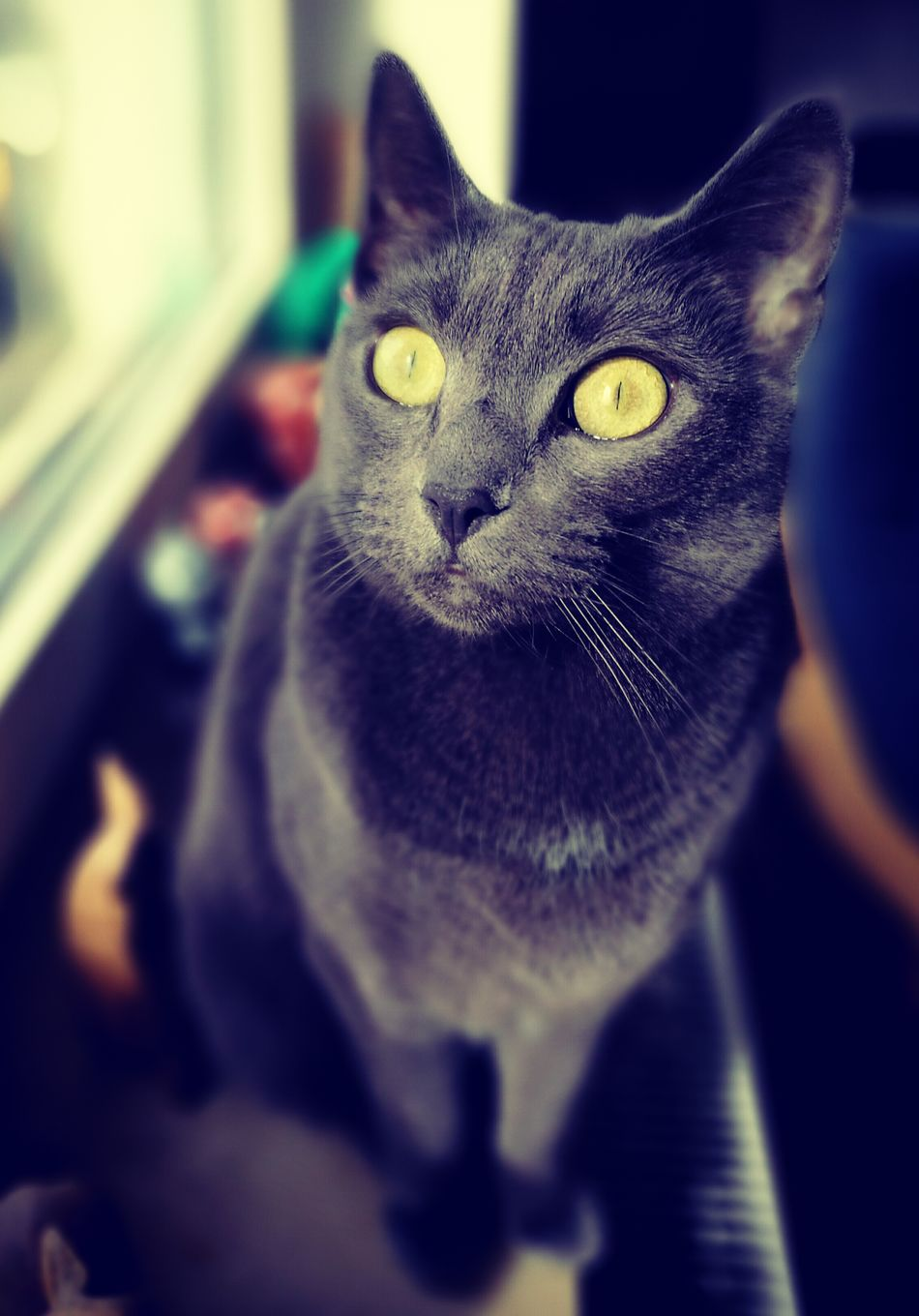 Domestic Animals Pets No People Animal Themes Domestic Cat Yellow Eyes One Animal Cat♡ Cats 🐱 RussianBlue