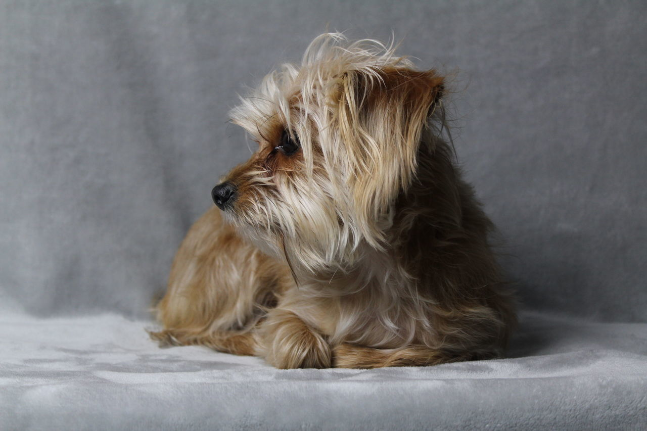 pets, dog, one animal, domestic animals, indoors, animal themes, animal hair, mammal, no people, sitting, bed, close-up, day