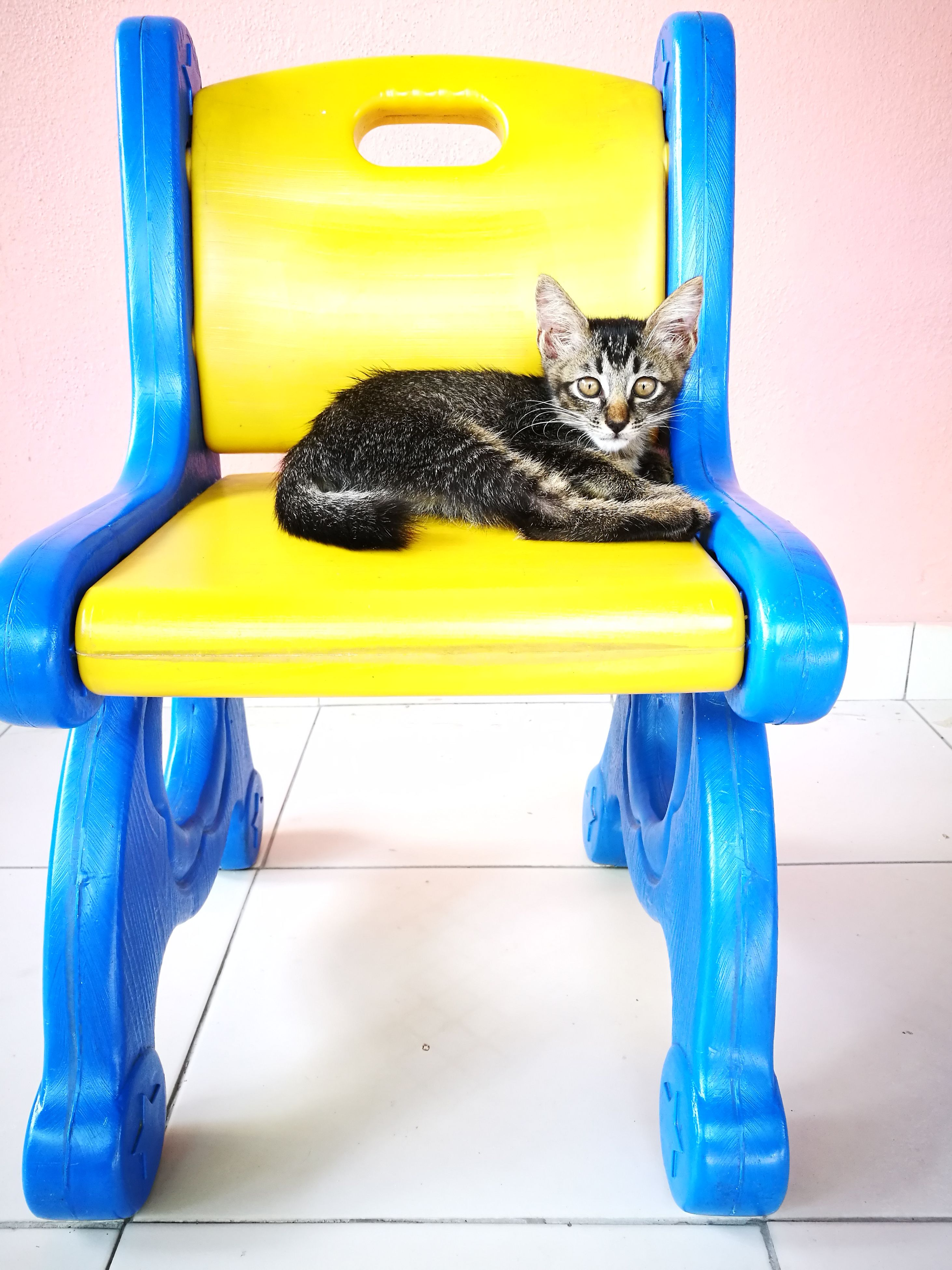 pets, domestic cat, domestic animals, animal themes, mammal, one animal, blue, feline, sitting, yellow, no people, looking at camera, indoors, full length, multi colored, day, portrait