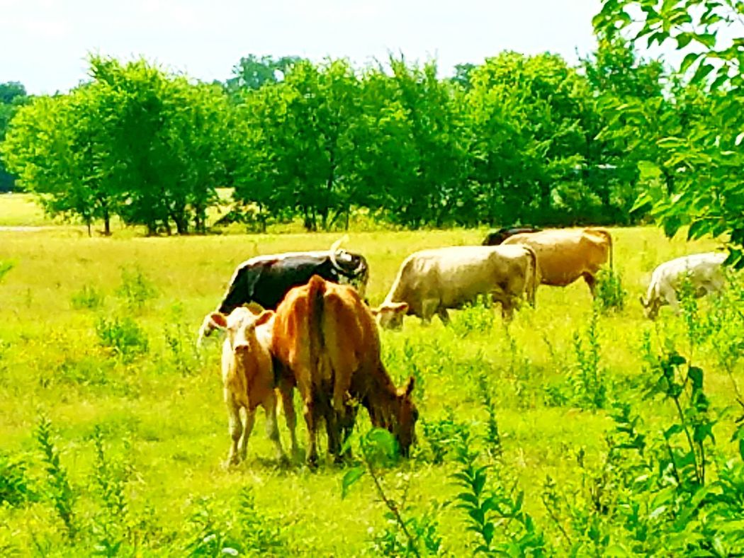 Hanging Out Taking Photos Check This Out Enjoying Life Cow Baby Calf Calf PastureLand Field White Cow Pasture Cows!!! Cows In A Field Cows