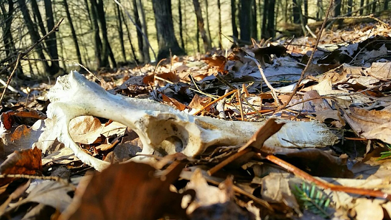 dry, nature, leaf, day, no people, outdoors, animal bone, sunlight, forest, tree, close-up