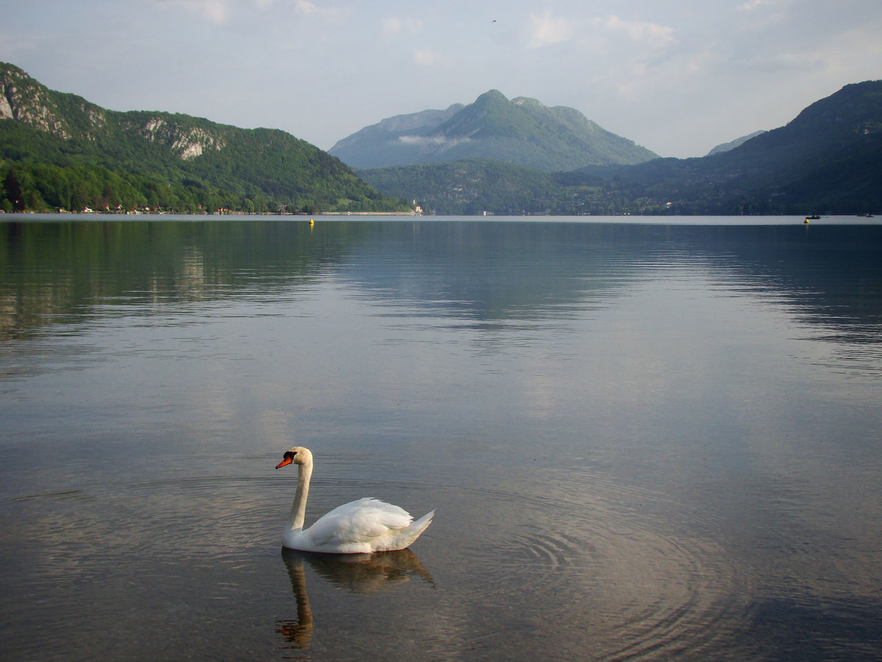 A lone swan on Lake Annecy in France Annecy, France Beauty In Nature Bird Day Europe France Idyllic Lake Mountain Nature Nature No People One Animal Outdoors Scenery Swan Tranquility Travel Destinations Water Water Bird