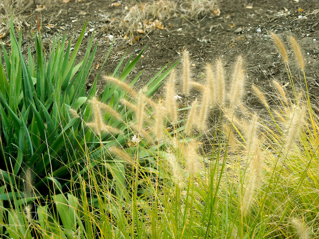 growth, grass, nature, field, green color, no people, outdoors, day, plant, beauty in nature, agriculture, cereal plant, wheat, freshness, close-up