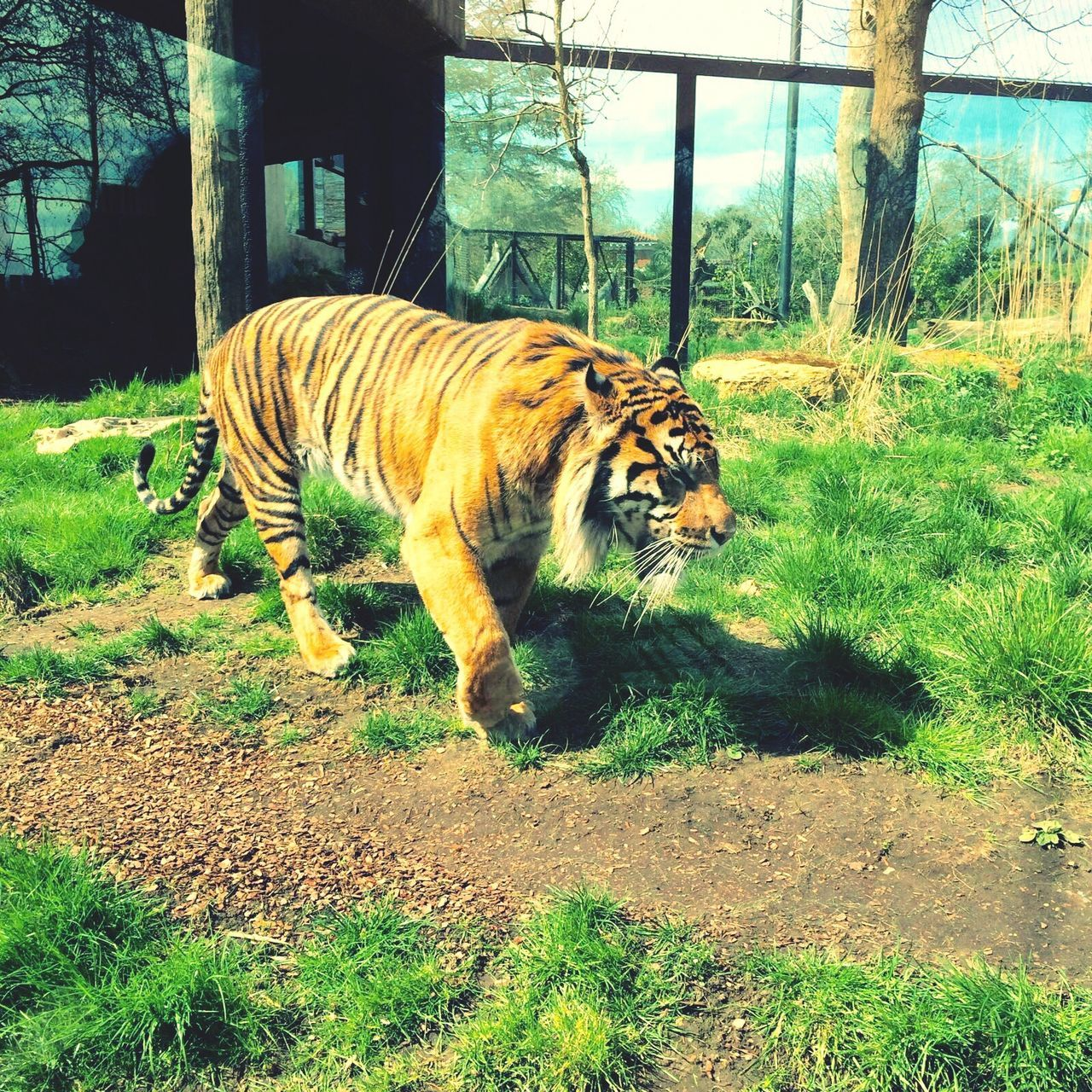 one animal, tiger, animal themes, animals in the wild, mammal, day, nature, outdoors, feline, no people, grass, tree