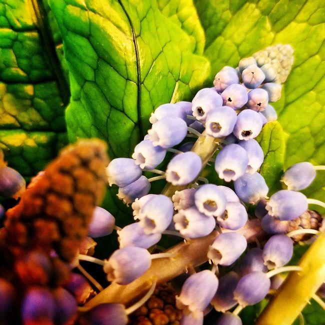 Lavender Muscari over green