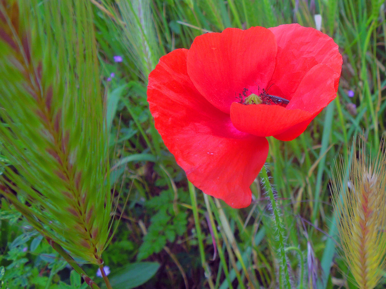 Beauty In Nature Blooming Close-up Day Flower Flower Head Fragility Freshness Growth Mohnblume Nature No People Outdoors Petal Plant Poppy Flowers Red
