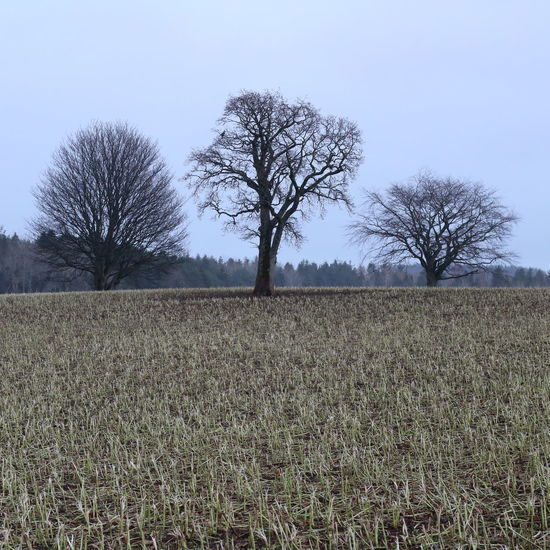 Aberdeenshire Agricultural Land Agriculture Bare Tree Day Farmland Field Field Growth Horizon Over Land Kennethmont Leith Hall Nature No People Olive Tree Outdoors Rural Scene Silhouette Single Tree Sky Three Trees Tree Tree Silhouette Trio Triptych