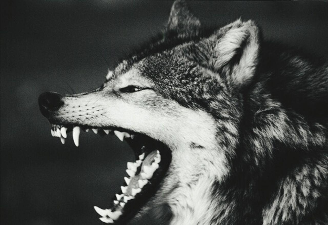 Beautiful stock photos of wolf, NULL
