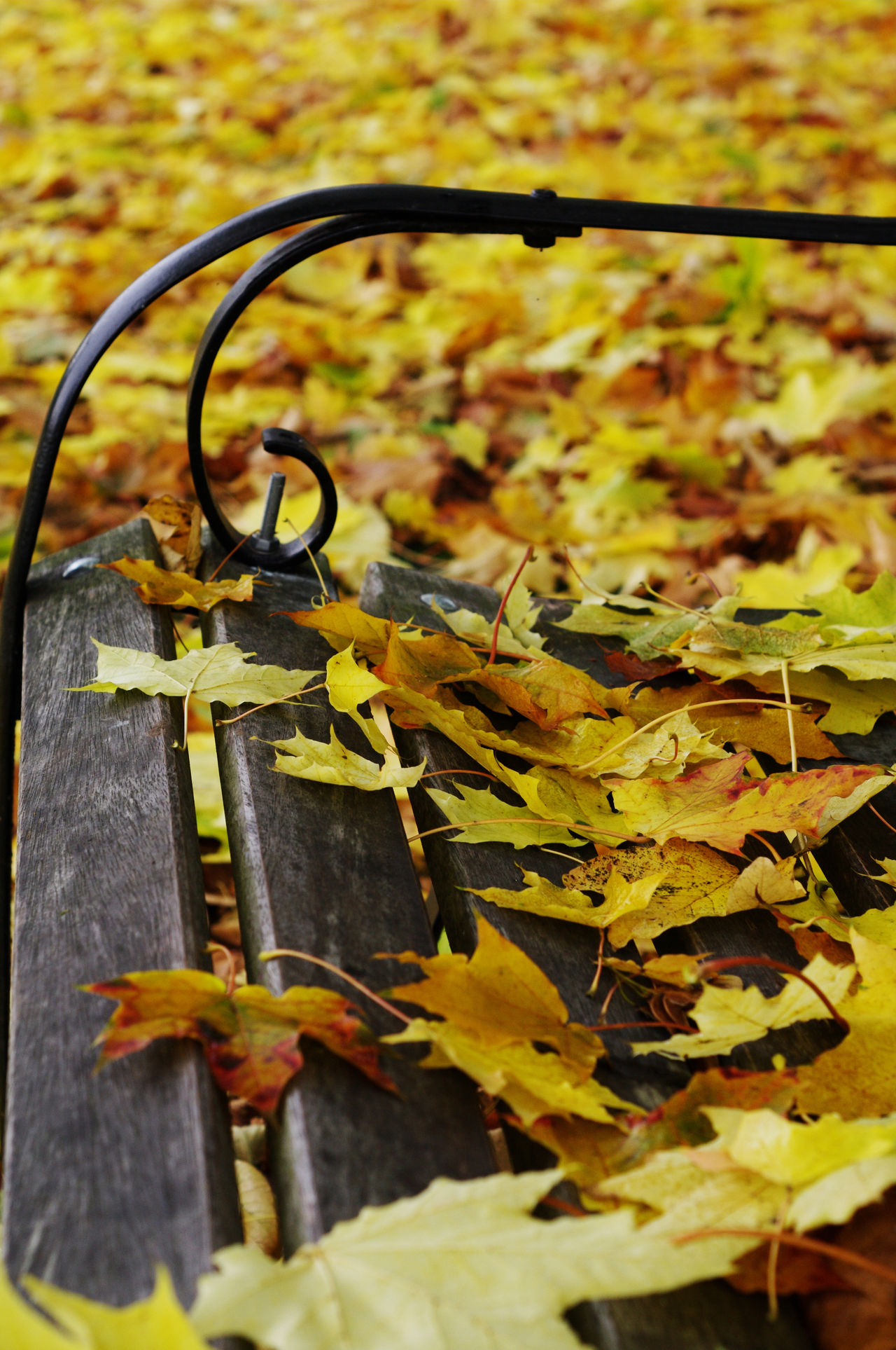 Autumn Bench Change Close-up Colours Of Autumn Day Fallen Leaves In The Park Leaf Maple Leaf Nature No People Outdoors Wooden Slats Wrought Iron Yellow Prime Lens St Nicholas Park, Warwick, UK