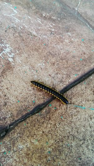 Millipedes, are arthropods in the class Diplopoda, which is characterized by having two pairs of jointed legs on most body segments. Each doubled-legged segment is a result of two single segments fused together as one. Nature On Your Doorstep