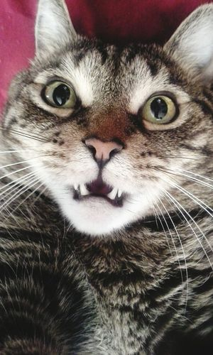 My Cat♥ Shocked Face Cat♡ I Love My Cat Funny Cat Cute Cats Catoftheday Cat Lovers Catlovers Cats 🐱