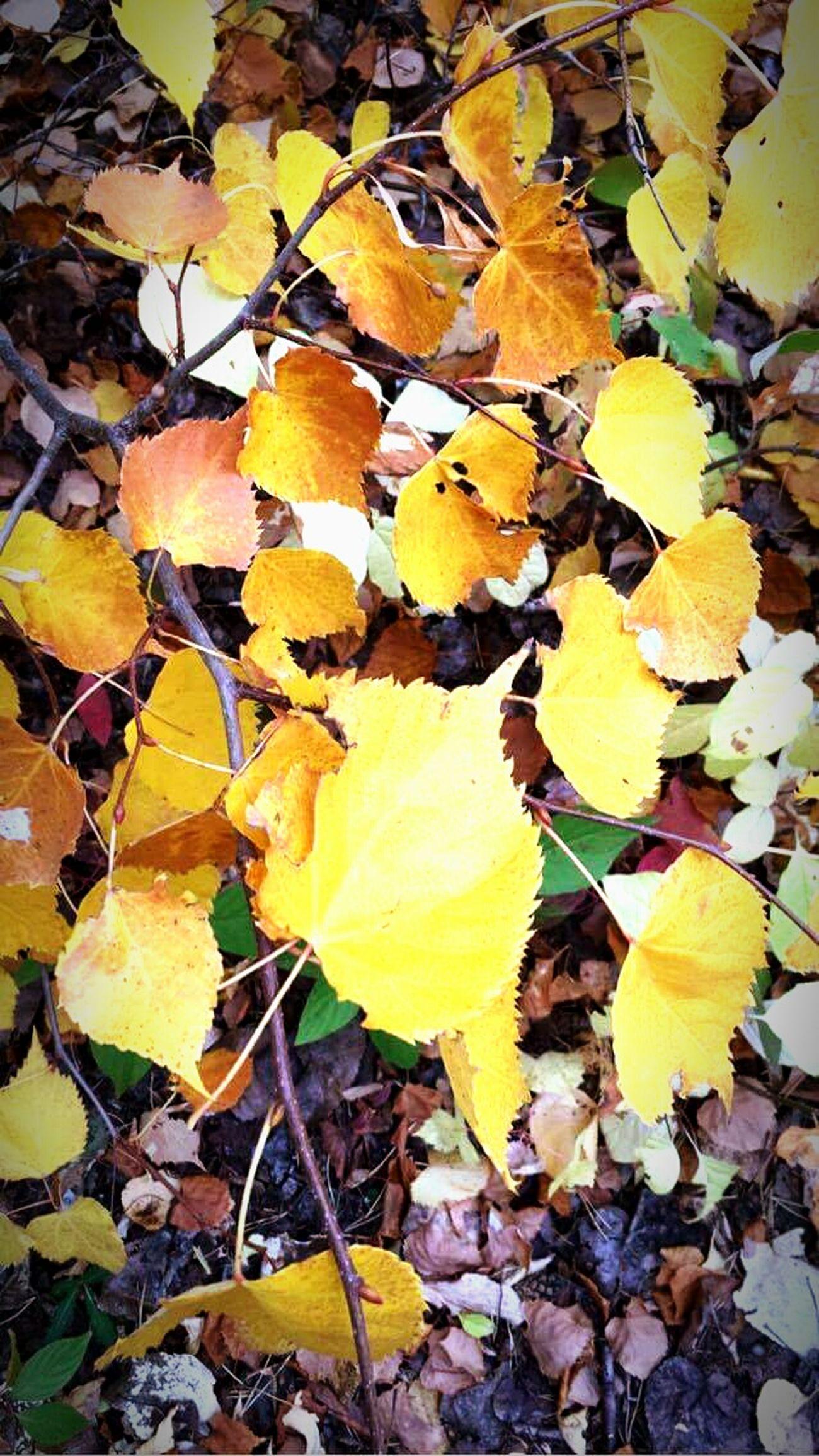 Love is fall. Autumn🍁🍁🍁 Fall Beauty Fall Leaves Autumn Leafs Falling Leaves Yellowfall Autumnbeauty Autumn 2016