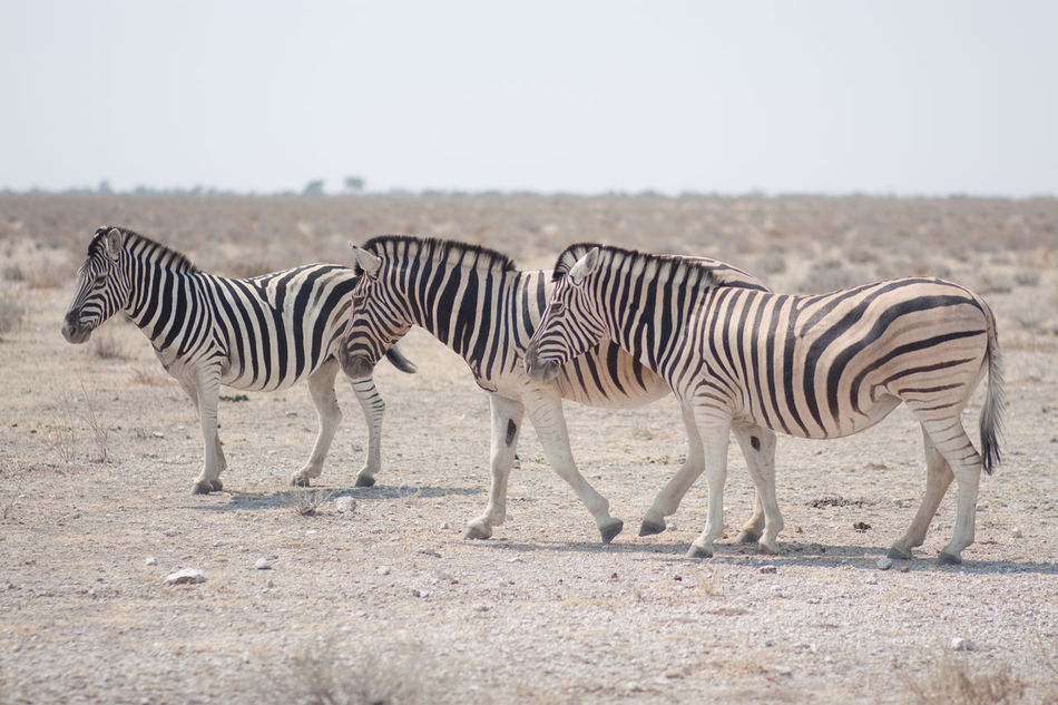 Beautiful stock photos of zebra, Animal Themes, Animals In The Wild, Day, Desert