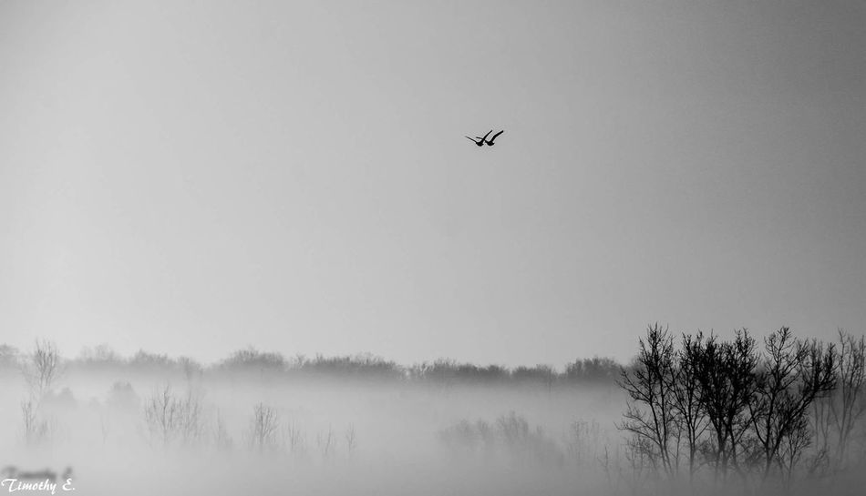 In flight Nature Animal Wildlife Fog Sky Beauty In Nature Flying Foggy Morning NikonLife Canada Coast To Coast London Ontario Canada Nikon D7000 Sillouette MonochromePhotography Black And White Photography Black And White Birds In Flight