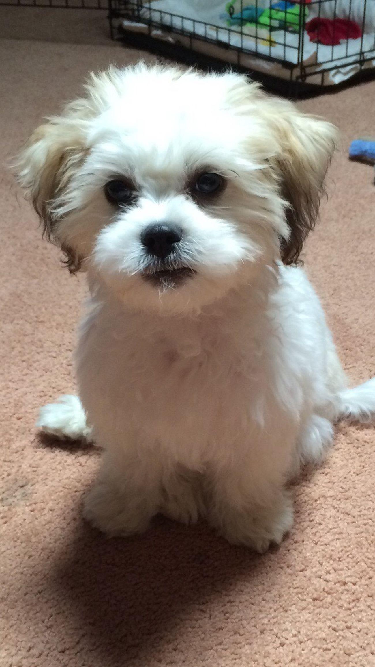 Huey Lewis as a baby Cheese! Dogs Puppy Cute Cute Pets Shitzu Bichonfrise