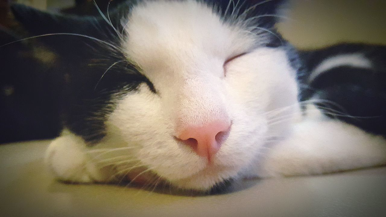 Pets One Animal Domestic Animals Close-up Eyes Closed  Mammal Indoors  Relaxation Animal Themes Domestic Cat Lying Down No People Feline Day White Color Cat♡ Cats Of EyeEm Catoftheday Cat Photography Catnose Cat Eyes Cateyes Cat Nature Beauty In Nature