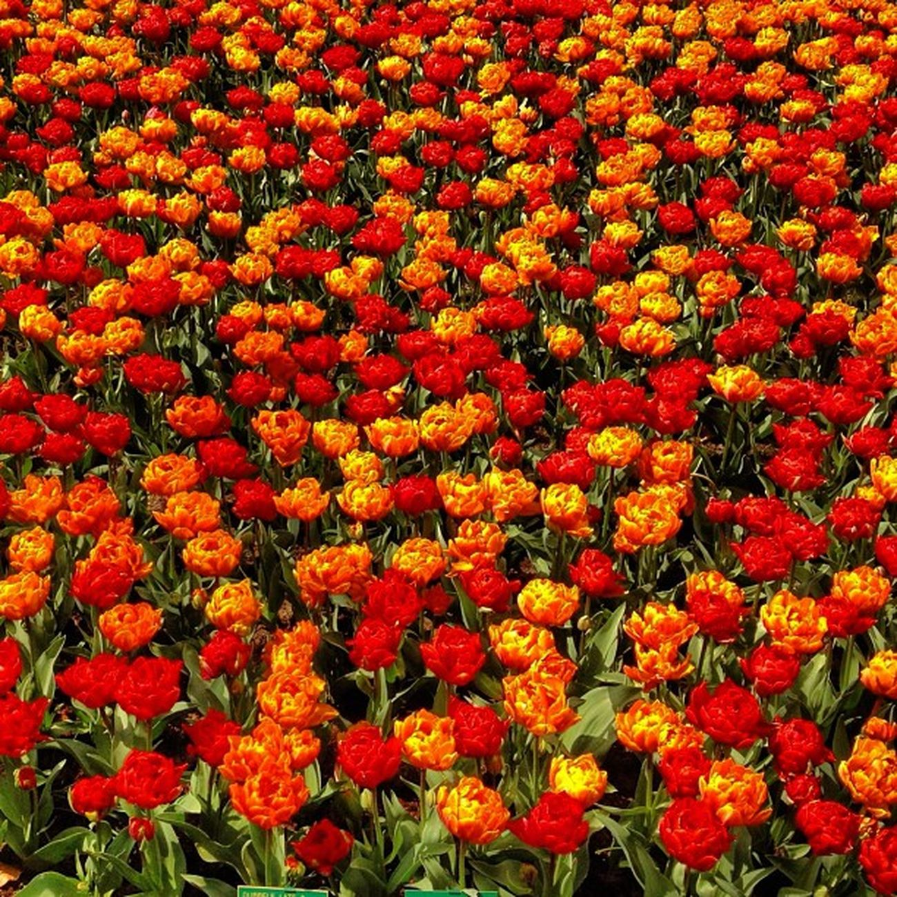 Orange #flowers for #altexpo #orange #dutch #jj_forum #igersholland #holland #ubiquography #jj altexpo Tulipfieldsexperience Flowers Holland Orange Dutch Jj  Jj_forum Altexpo Ubiquography Igersholland Theflowerofgardens