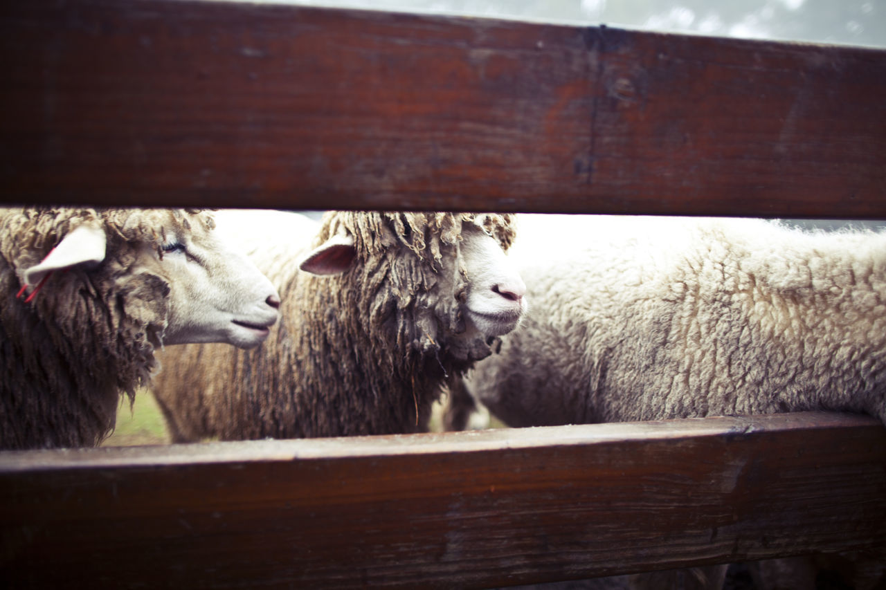 Animal Head  Animal Themes Day Domestic Animals Livestock Mammal Nature No People Outdoors Portrait Sheep Wood - Material
