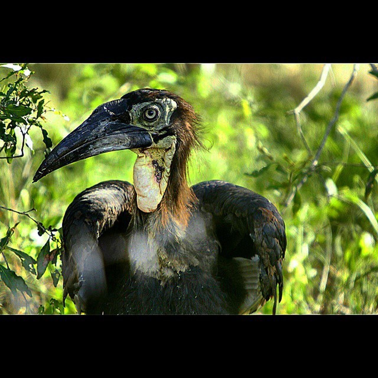 Southern Ground Hornbill, a Female... Hornbill Savethehornbill Krugernationalpark Southafrica