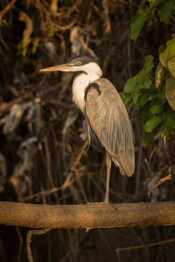 Animal Themes Animal Wildlife Animals In The Wild Bird Close-up Cocoi Heron Day Focus On Foreground Nature No People One Animal Outdoors Perching