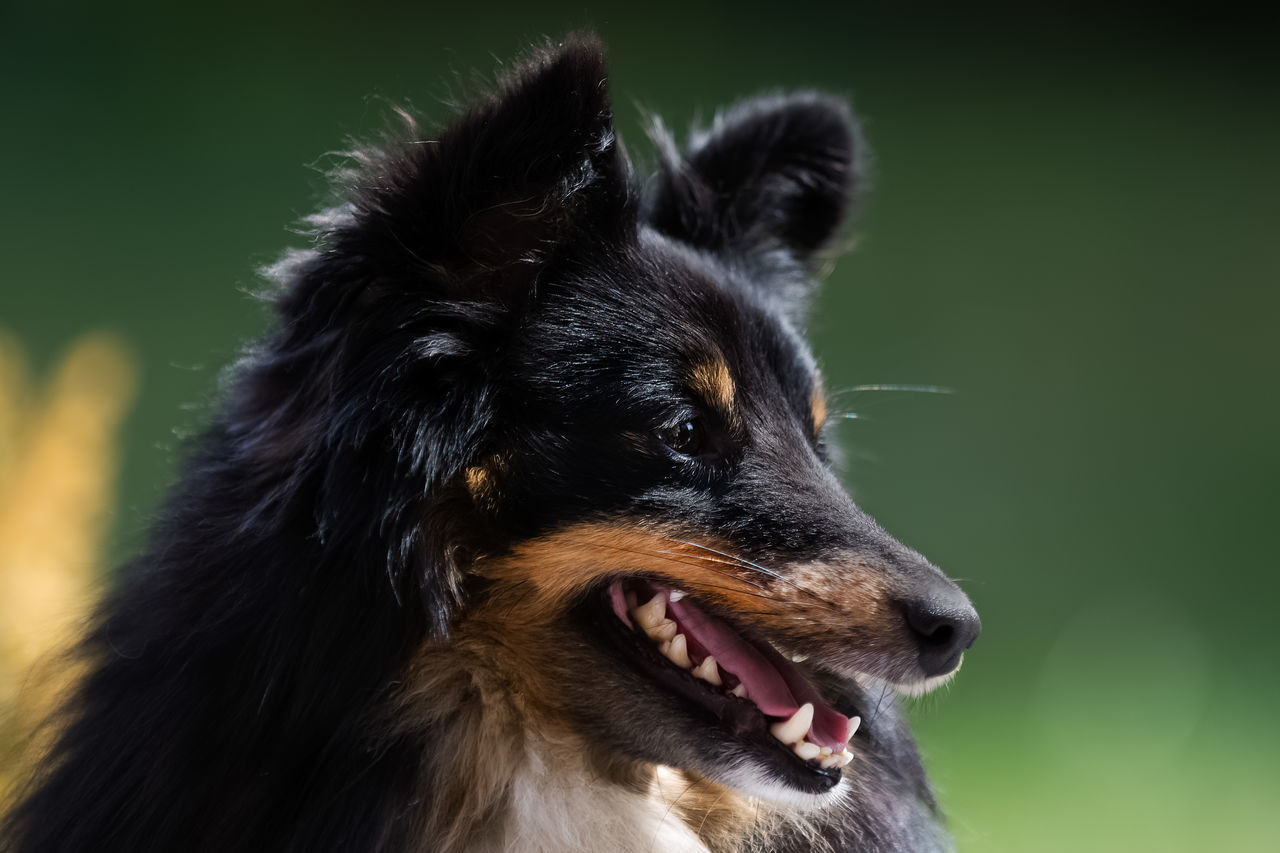 Kolja 4 Animal Close Up Dog Green Background Mouth Open Nature Nature_collection No People Outdoors People Portrait Sheltie Side Portrait Summer Sun Sunlight Teeth Tricolor Tricolore
