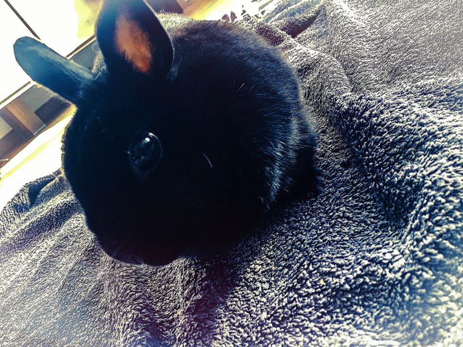 Black Bunny! One Animal Pets Domestic Animals Animal Themes Close-up Rabbit Rabbits IPhoneography Lovephotoeffect BeCreative Beautiful Nature Relaxing Moments Relax Welcome To Black