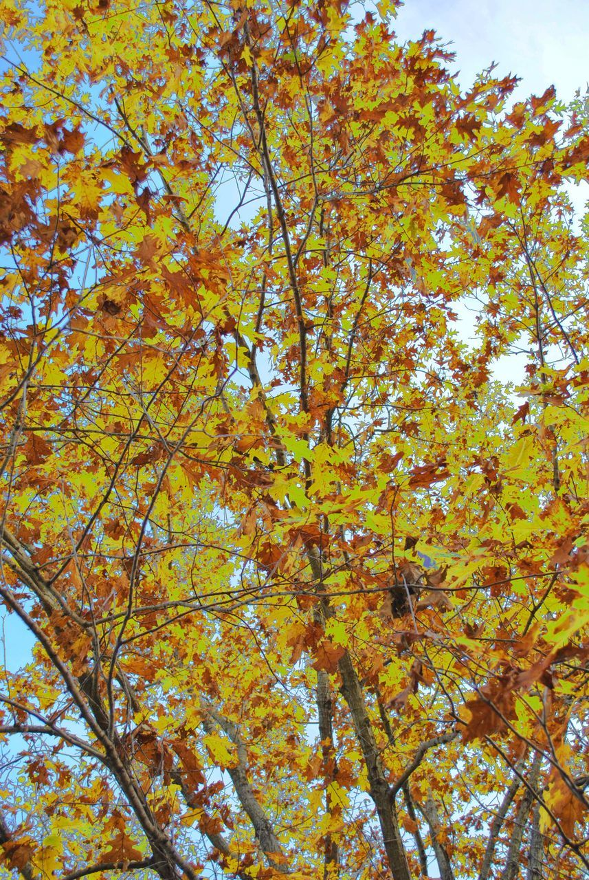 autumn, tree, leaf, change, beauty in nature, nature, growth, low angle view, branch, yellow, no people, day, outdoors, maple tree, tranquility, backgrounds, full frame, fragility, maple leaf, close-up, sky, maple, flower, freshness