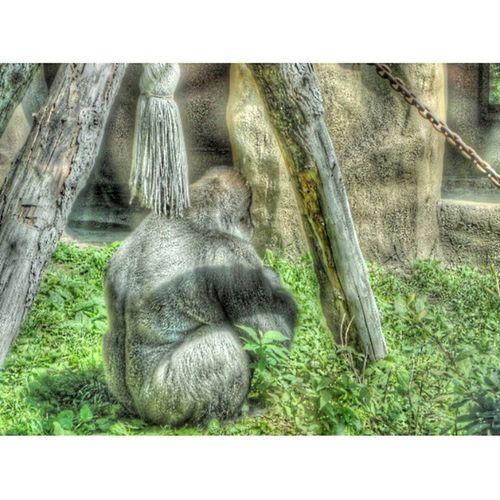 горилла примат зоопарк лето жара нашел Классный фильтр Gorilla Primacy Zoo Summer Heat Found Cool Filter Picsart Instasize
